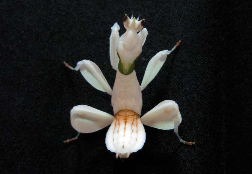 Les mantes orchidées femelles atteignent une longueur totale de 6 cm à l'âge adulte (après sept mues), ce qui signifie qu'elles sont deux fois plus grandes que les mâles. © James O'Hanlon, université Macquarie