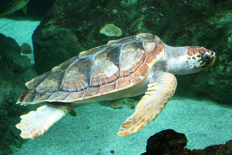 La tortue caouanne Caretta caretta se nourrit de crustacés et de mollusques. Elle pèse en moyenne 105 kg pour une longueur totale de 1,10 m. © Strobilomyces, Wikimedia common, CC by-sa 3.0