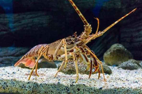 Des études suggèrent que le homard n'a pas conscience de la douleur. © Ruslan Gilmanshin, Fotolia