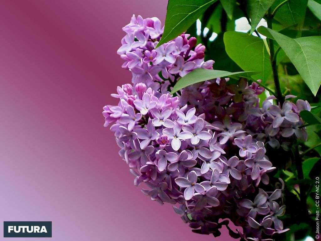 Printemps : Lilas Syringa vulgaris