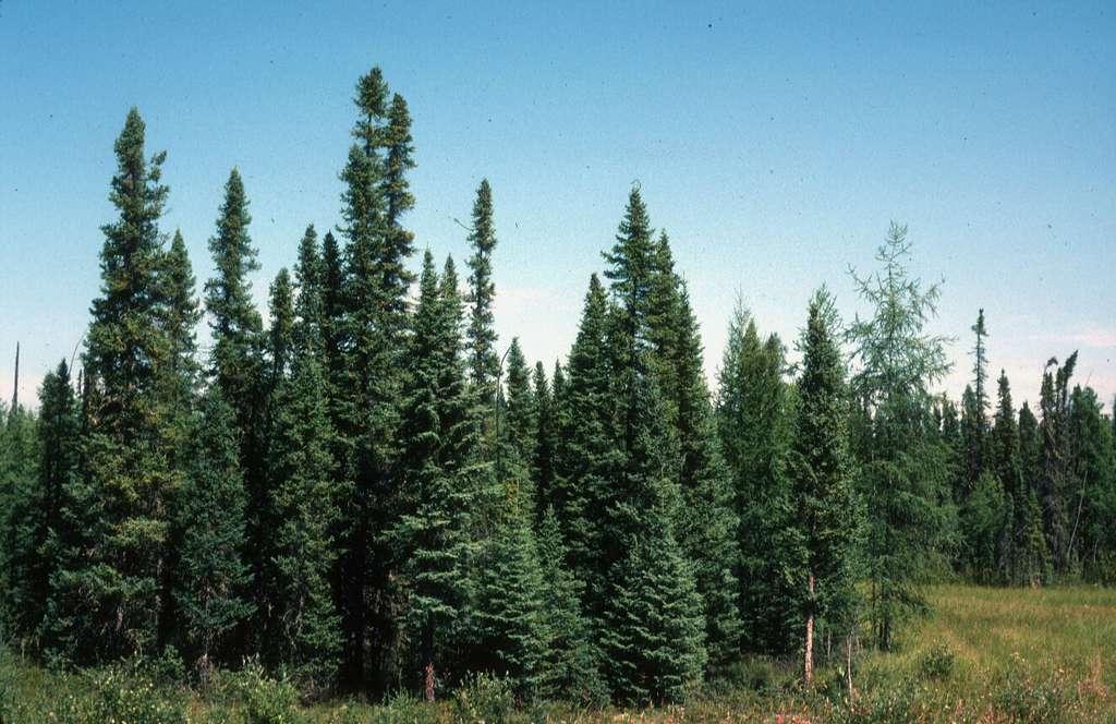L'épicéa noir est aussi appelé Picea mariana, ou encore épinette noire. On peut admirer cette espèce dans le parc national des Grands-Jardins. © SJQuinney, Flickr, cc by nc sa 2.0