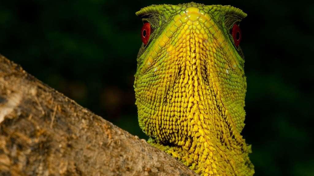 Sa majesté l'iguane