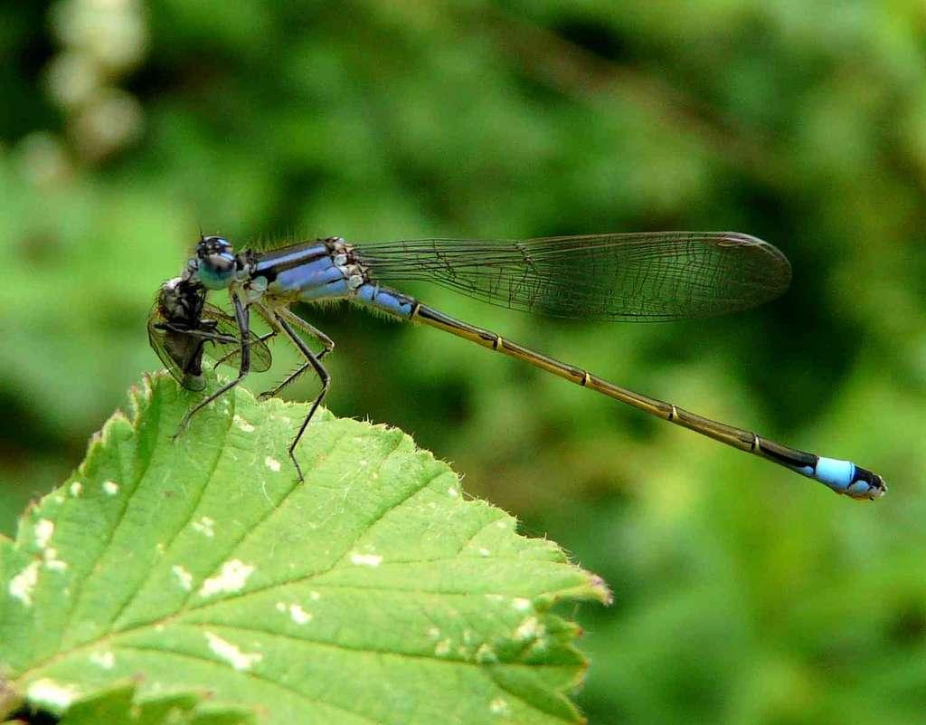 Ischnura elegans - Agrion élégant