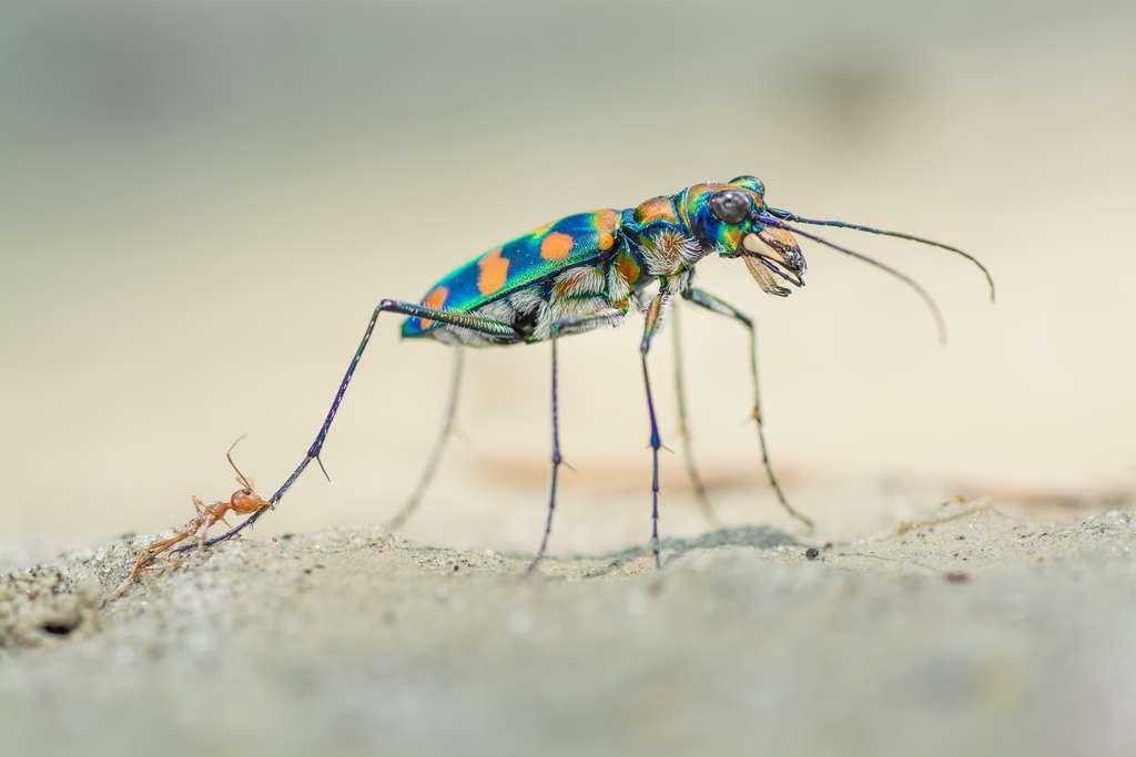 «La dernière morsure» d'une fourmi tisserande. © Ripan Biswas, Wildlife Photographer of the Year 2020