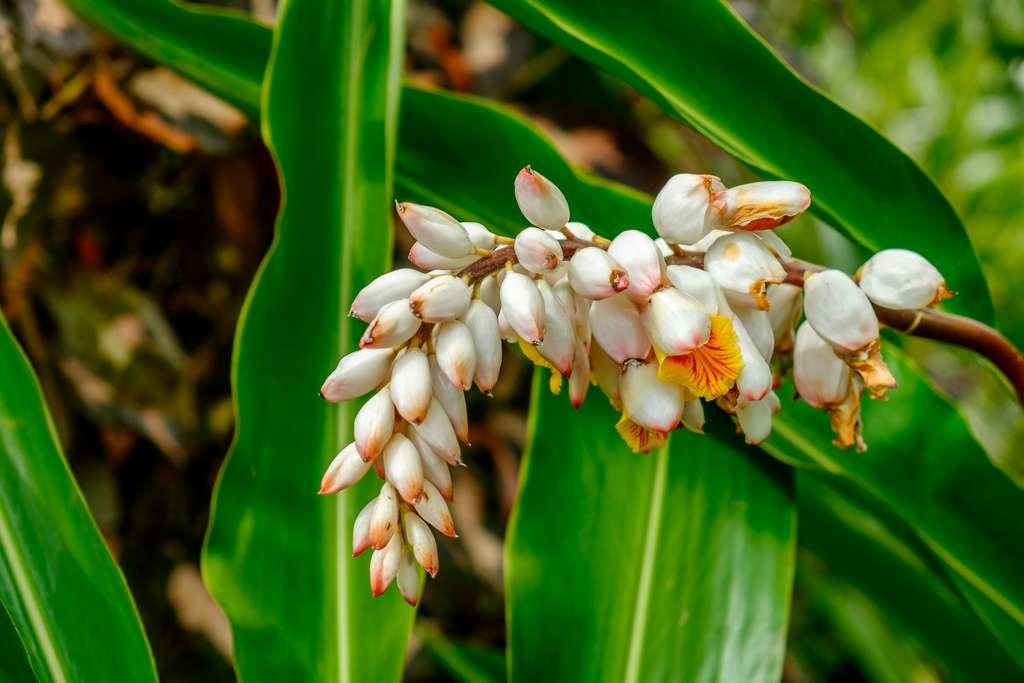 Appartenant aux Magnoliophytes, Alpinia zerumbet est présente dans diverses régions du monde, dont Okinawa mais aussi la Martinique. © Eric Laudonien, Adobe Stock