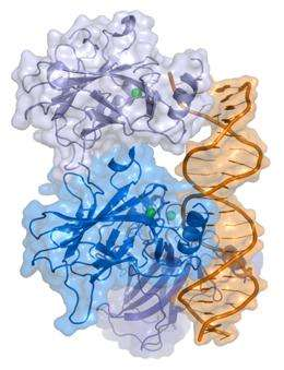 La protéine p53 est un des piliers du contrôle cellulaire, grâce à ses propriétés de facteur de transcription. Les protéines exprimées grâce à elle peuvent réparer la cellule ou bien provoquer sa mort par apoptose. © Thomas Splettstoesser