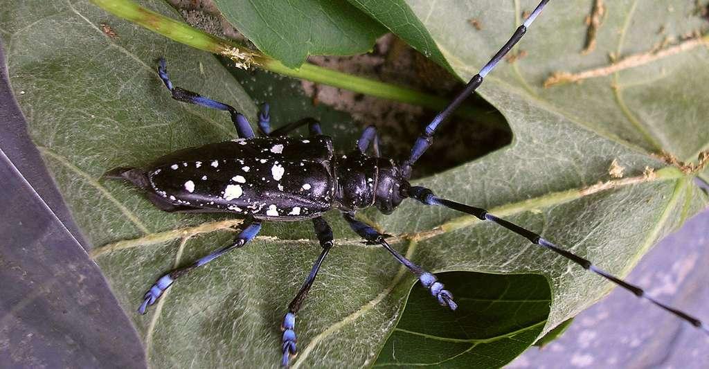 Anoplophora glabripennis longicorne asiatique. © Pudding4brains, DP