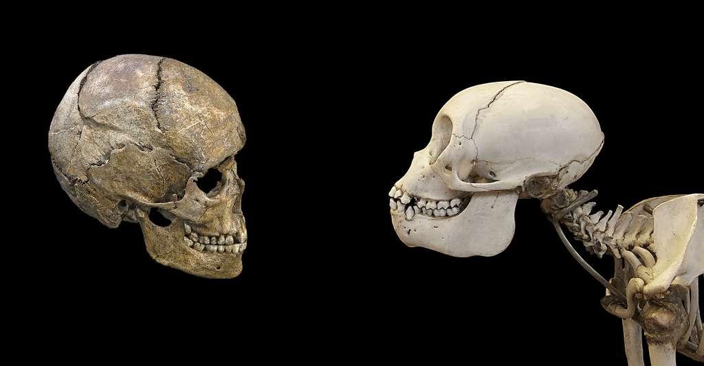 Comparaison entre un crâne d'Homme (à gauche) et un crâne de singe (à droite). © Jebulon, Wikimedia Commons, DP et Didier Descouens, Wikimedia Commons, CC by-sa 4.0