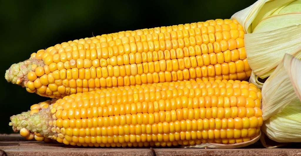 Epis de maïs. © Ulleo, Pixabay, DP