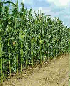 Le brevet de DuPont sur le maïs : un exemple de biopiraterie potentielle
