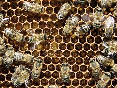 Couvain, ouvrières, oeufs et larves d'abeilles. © Waugsberg, Licence de documentation libre GNU, version 1.2