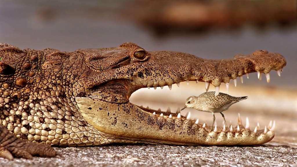 Le pluvier, grand ami du crocodile