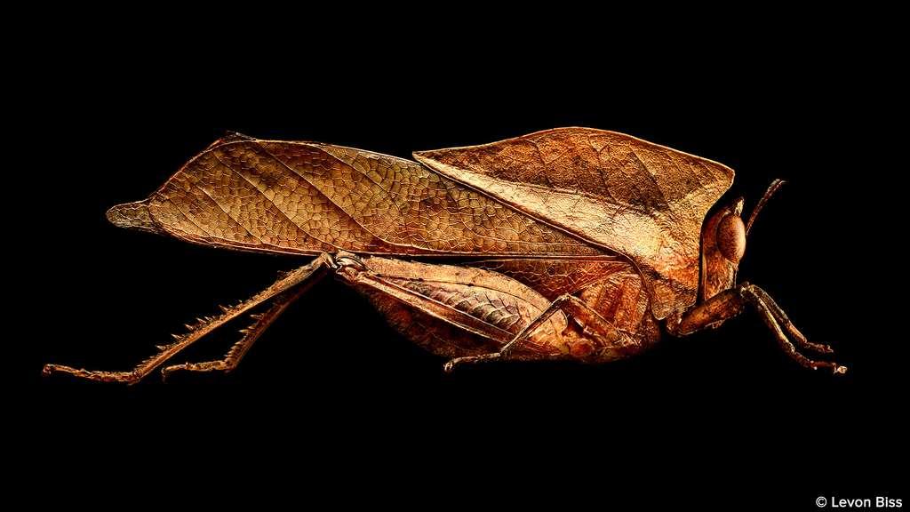 Une sauterelle qui imite une feuille morte