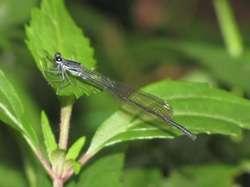 Découverte en 1933, cette libellule (Elattoneura leucostigma) est endémique du Sri Lanka. Elle vit dans les forêts denses de montagne, des zones aujourd'hui grignotées par des exploitations forestières d'arbres d'intérêt commercial ou des déboisements et dégradées par la pollution. L'espèce est considérée comme en danger critique. © Matjaz Bedjanic
