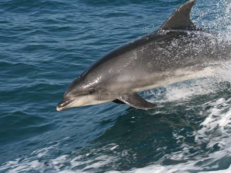 Randy, le grand dauphin solitaire qui a établi ses quartiers en Bretagne. Il est bien connu des ports, où il se rend souvent pour trouver de la compagnie. © Sylvain Houpert