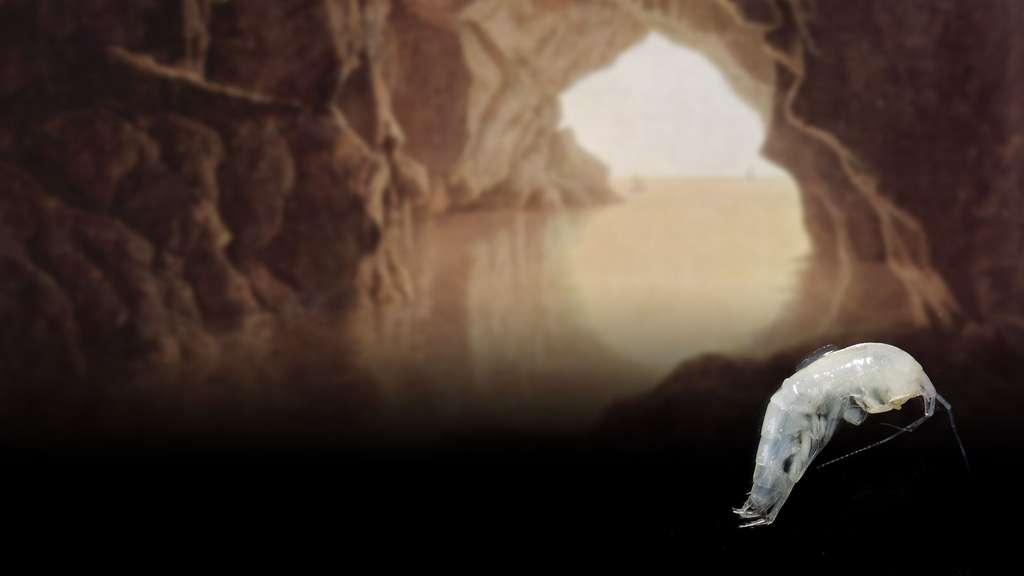 Un crustacé Niphargus course, dans les grottes de Frasassi, en Italie