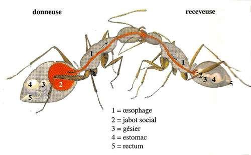 L'appareil digestif des fourmis et le jabot social. © D. Gourdin