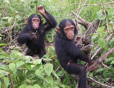 Chimpanzé du sanctuaire de Tchimpounga et son congénère (Congo Brazzaville) © Delphine Bruyere Licence de documentation libre GNU, version 1.2