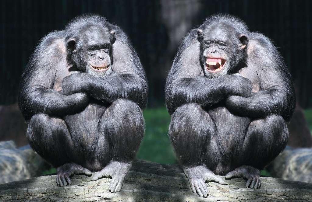 Les anthropologues pensent que le rire est né chez l'humain dans des comportements de jeu. Une hypothèse émise par des observations de rire chez de nombreuses espèces de primates. © Kletr, Adobe Stock