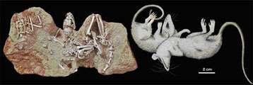 Les fossiles des opossums ont été retrouvés très près les uns des autres, indiquant probablement une vie en groupe. © Lemzaouda/MNHN, Fernandez/MNHN