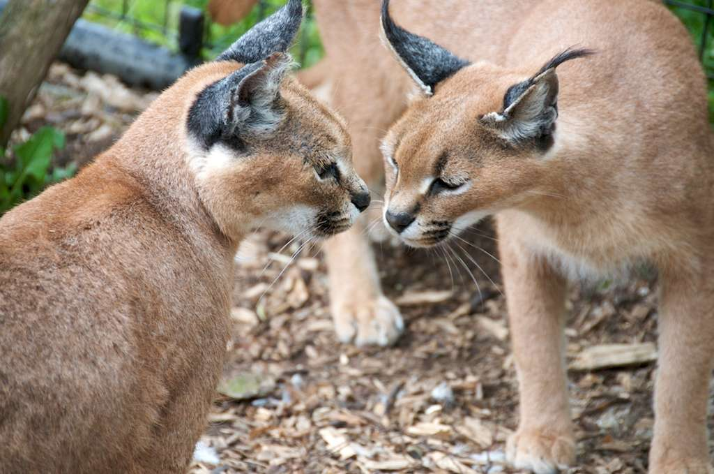 Femelles caracals. © Andrewhalliday, CC BY-ND-2.0