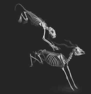 Panthère, Panthera pardus, Afrique, Asie (h. ép. 60 cm) Addax, Addax nasomaculatus, Sahara (h. ép. 75 cm) Coll. Muséum d'Histoire naturelle de Toulouse