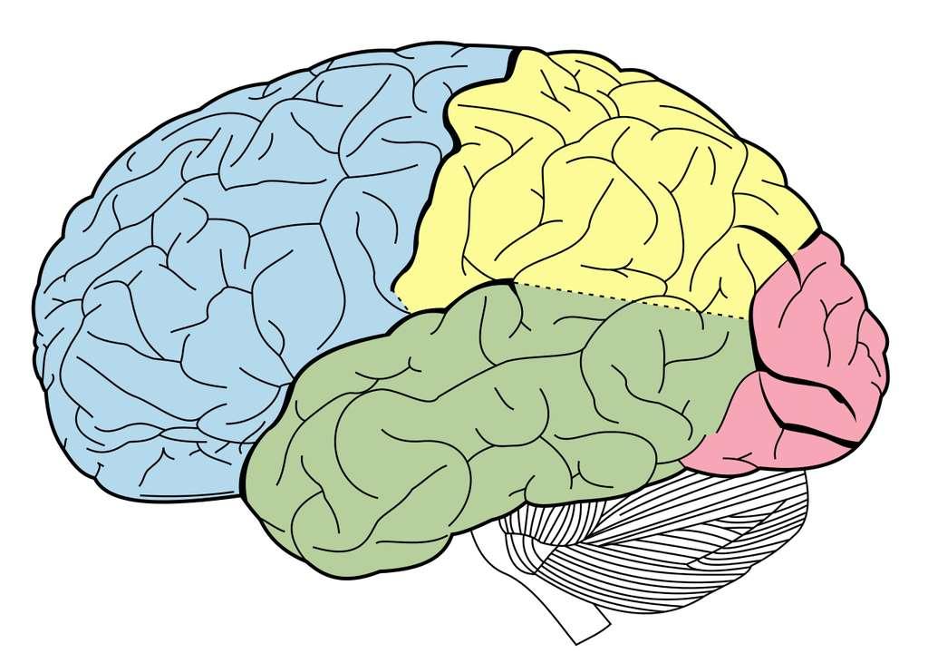 Les lobes du néocortex humain : frontal (bleu), pariétal (jaune), occipital (rose) et temporal (vert). © Bartleby, Wikimedia Commons, DP