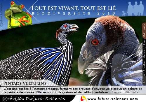 Biodiversité : Pintade Vulturine