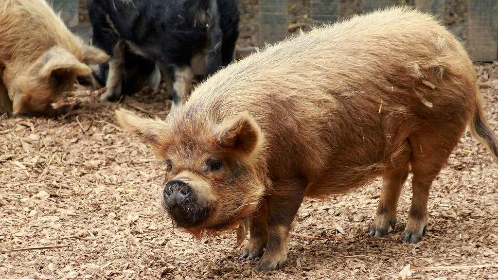 Le cochon de Kunekune