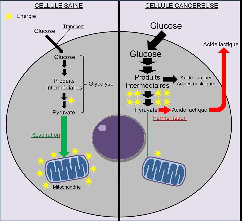 Figure 20. Dérégulation du métabolisme énergétique dans les cellules cancéreuses. En situation saine, la cellule puise son énergie en orientant son métabolisme vers la respiration. En situation cancéreuse, le métabolisme est orienté majoritairement vers la fermentation pour accélérer la production de nouvelles molécules qui permettent la conception de nouvelles cellules cancéreuses. © Grégory Ségala