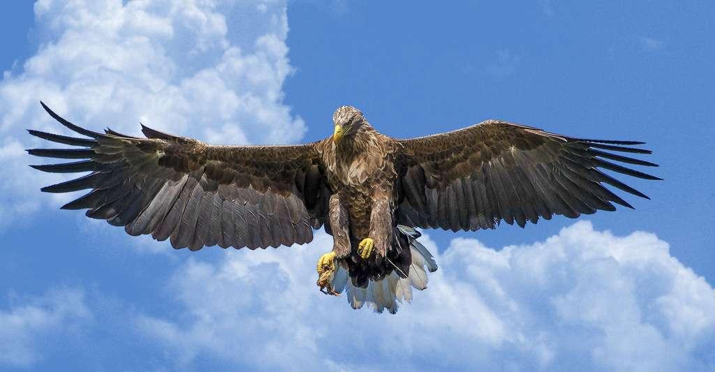 Les plumes des rapaces jouent un rôle essentiel pour le vol de ces animaux. Sur cette photo, on voit bien le plumage de l'aigle. © Morfar, DP