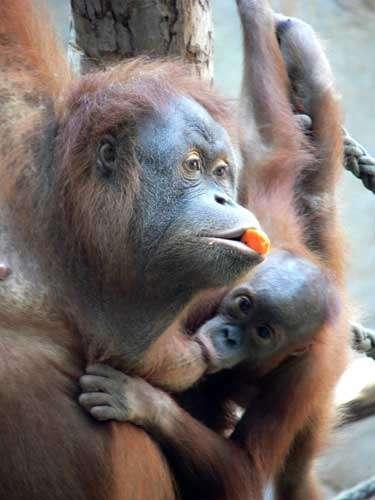 Orang-outang (Pongo pygmaeus). © Marie Pelè - Reproduction et utilisation interdites