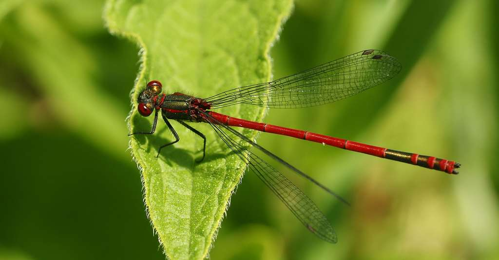 Une grosse demoiselle rouge. © Hans Hillewaer, Wikimedia commons, CC by-sa 4.0