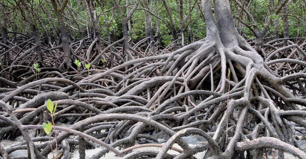 Dans la mangrove, les racines des arbres et arbustes servent d'abri à bon nombre d'organismes. © hbieser, Pixabay, CC0 Creative Commons
