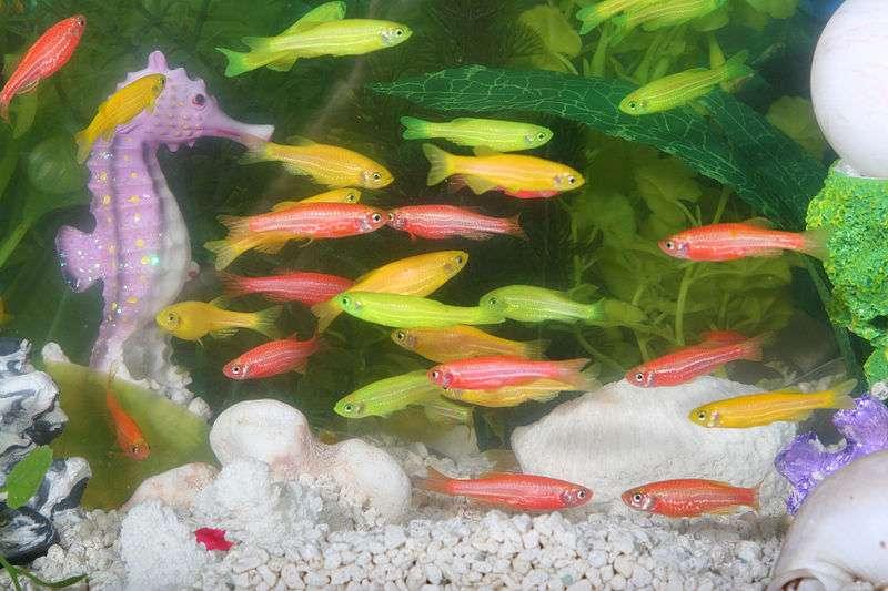 Le GloFish, issu du poisson-tigre, est le premier animal de compagnie transgénique. Il a été obtenu par l'introduction d'un gène fluorescent. © www.glofish.com
