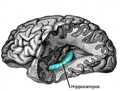Ce schéma du cerveau permet de localiser l'hippocampe (Hippocampus), profondément ancré dans l'encéphale. Cette zone du cerveau joue un rôle central dans la mémoire. © Looie496, Wikipédia, DP