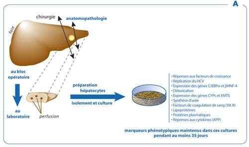 Culture primaire d'hépatocytes humains hautement différenciés. Les hépatocytes sont préparés à partir de pièces de lobectomies hépatiques. © Infographie Olivier Piau (Agropolis Productions) d'après une illustration de l'Inserm