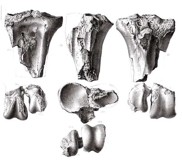 Fragments de tarsométatarse de « Diatryma » (= Gastornis) gigantea de l'Éocène du Nouveau-Mexique, décrits par Cope en 1877. © DR