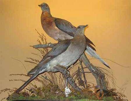 Couple de pigeons migrateurs américains naturalisés du Vanderbilt Museum de New York. Source Commons