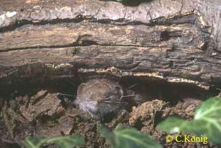 Crocidura leucodon, on voit particulièrement bien les vibrisses sur cette image. © Toute reproduction et utilisation interdites