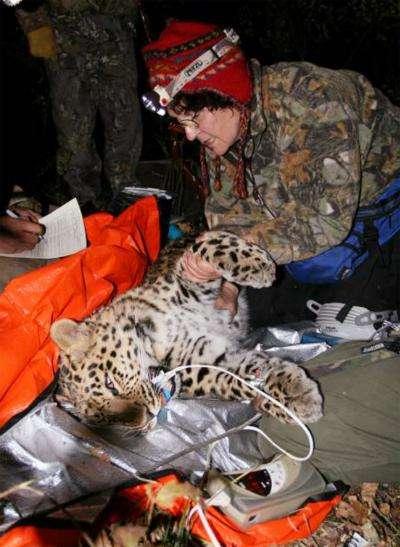 L'animal capturé. Crédit WWF