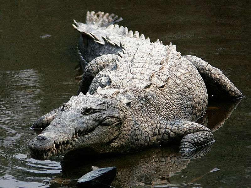 Crocodile américain (Crocodylus acutus). © Thomas Castelazo, CC by-SA 2.5