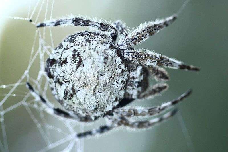 L'araignée Darwin (Caerostris darwini) produit la soie la plus résistante au monde. © GalliasM, Wikipédia, cc0 1.0