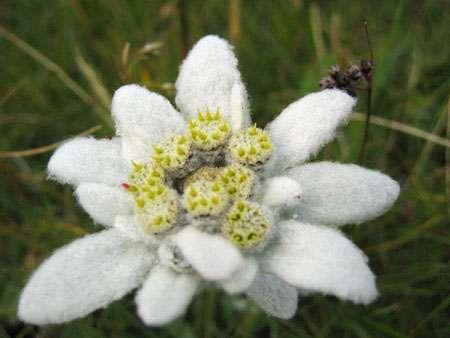 Capitule de capitules de l'edelweiss (Leontopodium alpinum). © Michael Schmide, CC by-sa 2.0