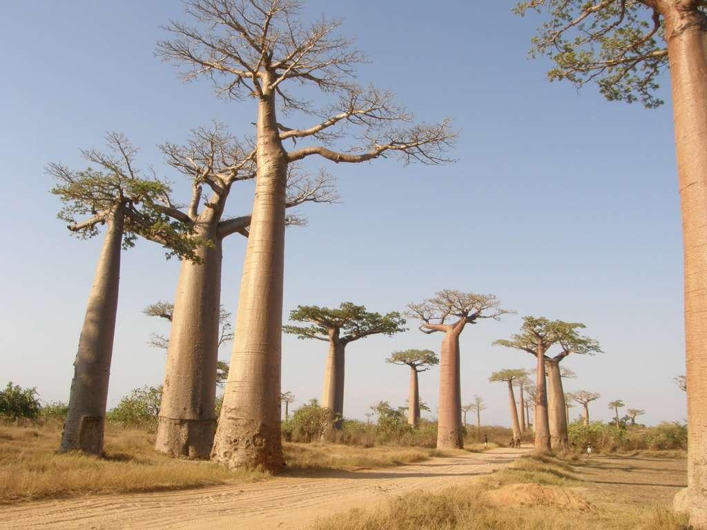 Le baobab Grandidier (Adansonia grandidieri) qui peut vivre jusqu'à 2.000 ans, n'est pourtant pas épargné par la culture sur brûlis, le surpâturage et l'exploitation de ses produits (écorce et fruits). © arkantor, iNaturalist