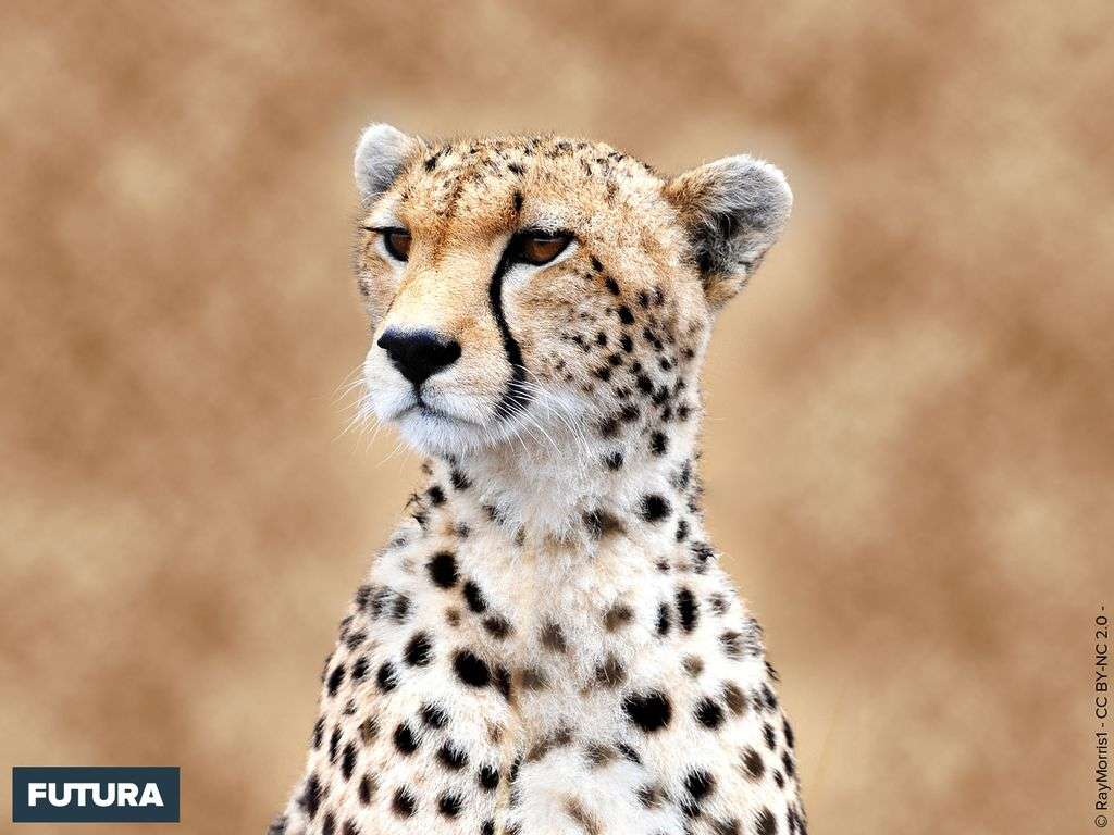 Cheetah terme Hindi du guépard, sa course peut atteindre 110 klm/h