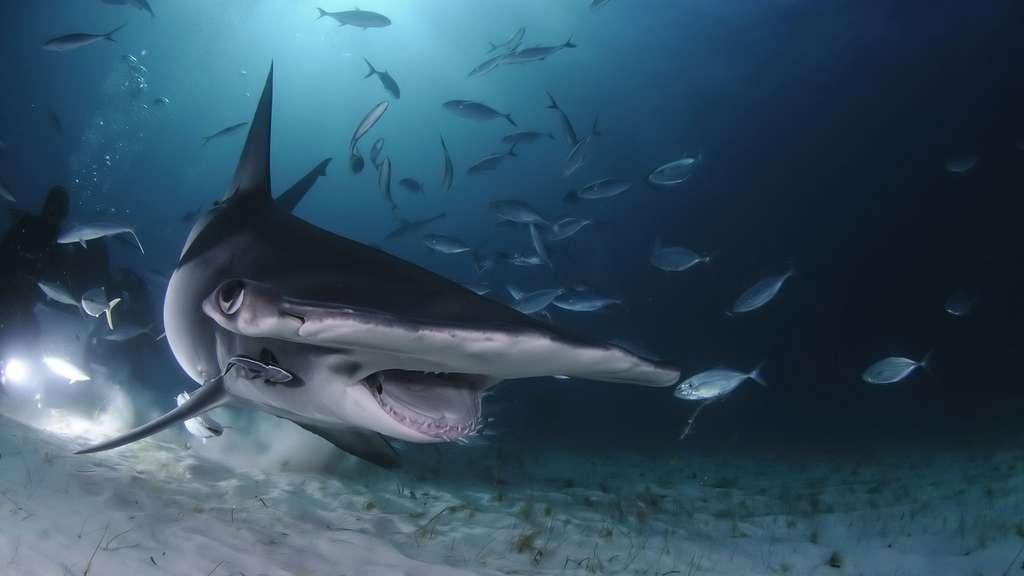 Le requin-marteau : une bonne Tête avec un grand T