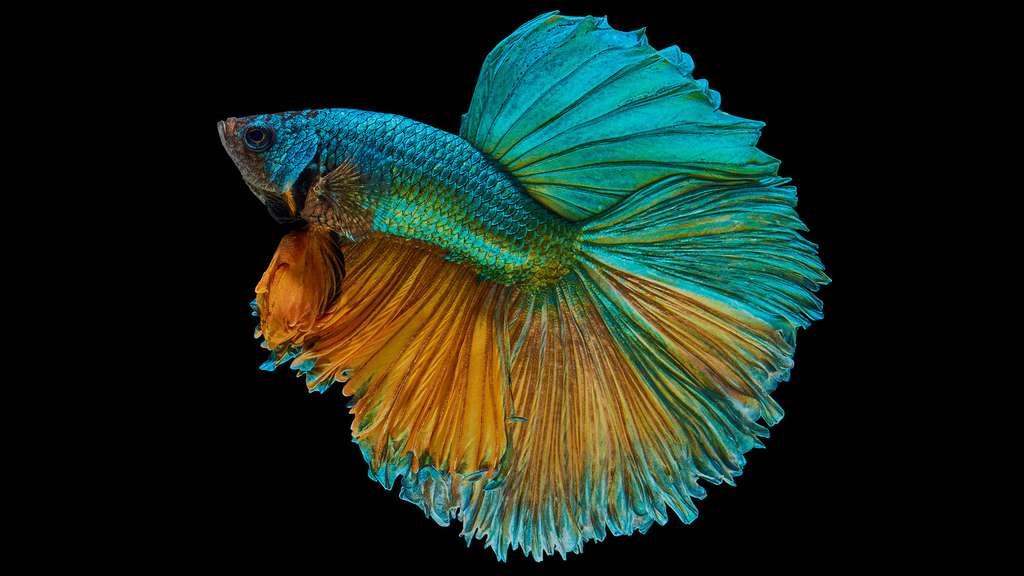 Un combattant du Siam demi-lune multicolore