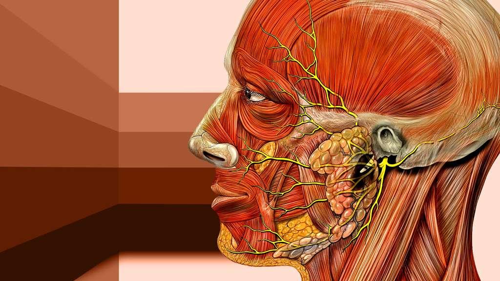 Anatomie de la tête : nerfs de la face