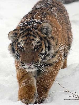 Le tigre de Sibérie, de plus en plus seul, doit parcourir de longues distances pour pouvoir rencontrer ses partenaires et se reproduire. © flickkerphotos CC by-nc-sa